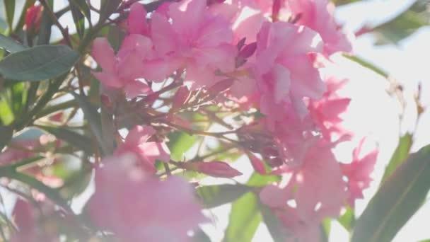 Květy růžové na keř se zelenými listy. Subtropické rostliny