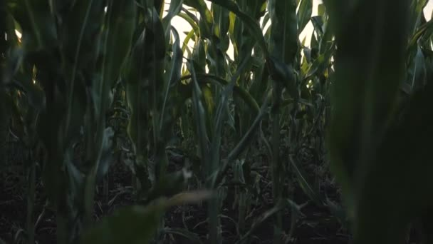 Kukuřičné pole v západu slunce kukuřičné klasy sklizeň na farmě