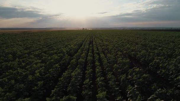 Letecká fotografie slunečnicová pole při západu slunce. Zelená slunečnicová pole na ptačí pohled. Západu slunce obloha