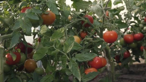 Sklizeň rajčat. Farmář v skleník sklizeň bio rajčata