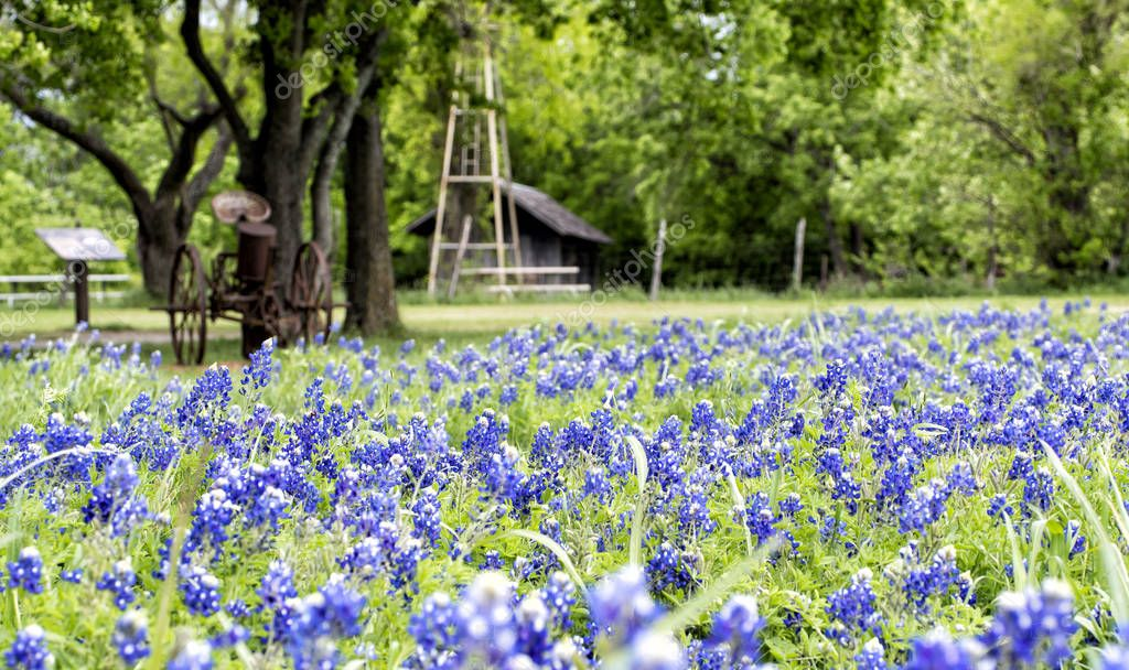 Bluebonnets Blossom In A Texas State Park