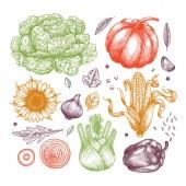 Organic vegetables collection. Handsketched vintage vegetables. Line art illustration.