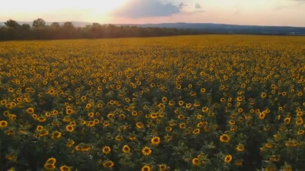 Agriculture concept. Aerial shooting field of sunflowers in summer.