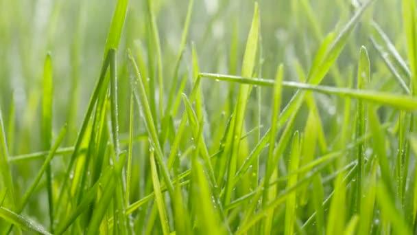 Zalévání trávy. Kapky vody klesají na čerstvou zelenou trávu