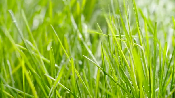 Watering the grass. Drops of water fall on fresh green grass