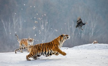 Siberian tigers hunting prey bird on snowy meadow, Siberian Tiger Park, Hengdaohezi park, Mudanjiang province, Harbin, China.