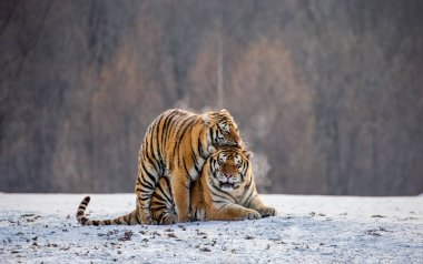 Pair of Siberian tigers mating on snowy meadow of winter forest, Siberian Tiger Park, Hengdaohezi park, Mudanjiang province, Harbin, China.