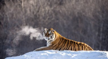 Siberian tiger lying on snowy meadow of winter forest, Siberian Tiger Park, Hengdaohezi park, Mudanjiang province, Harbin, China.