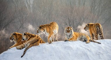 Siberian tigers lying on snowy hill of winter forest, Siberian Tiger Park, Hengdaohezi park, Mudanjiang province, Harbin, China.