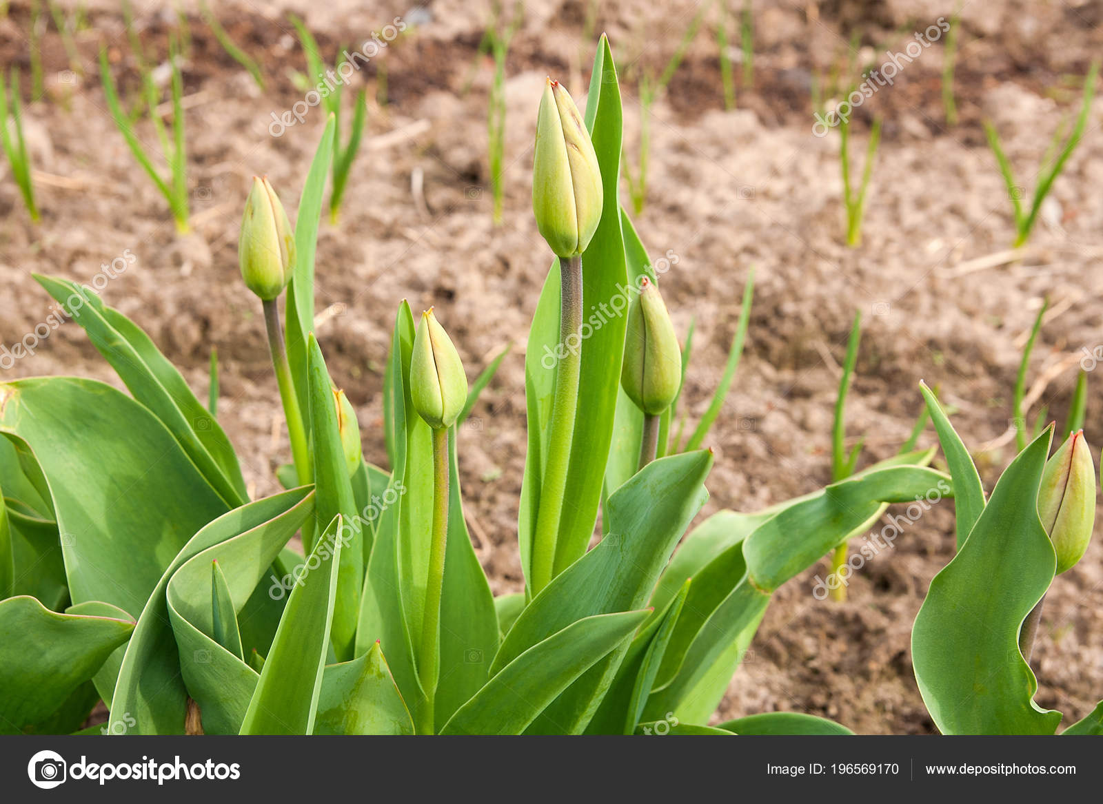 First Spring Flowers Buds Tulips Leaves Flower Bed Stock Photo