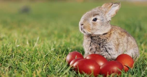 Legrační malý šedý králík sedí v zelené trávě mezi červená velikonoční vejce