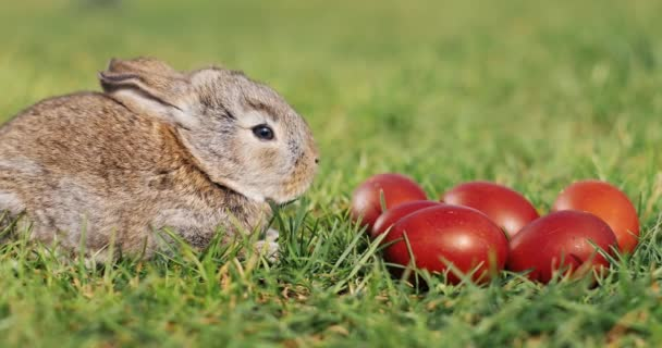 Funny little grey rabbit sits in the green grass among red Easter eggs.