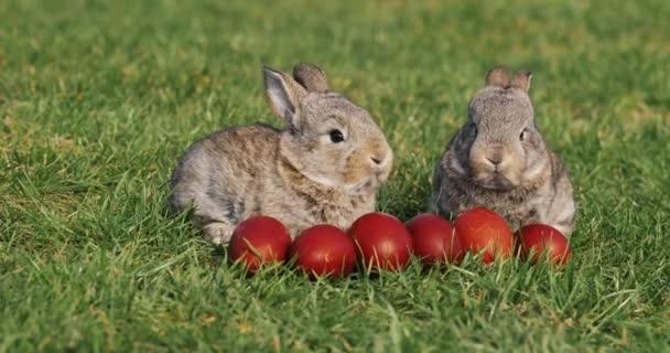Két vicces kis szürke nyulak ülnek a zöld fű között piros Húsvét ikra