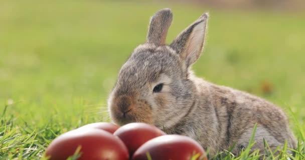Vicces kis szürke nyúl ül a zöld fű között piros Húsvét ikra
