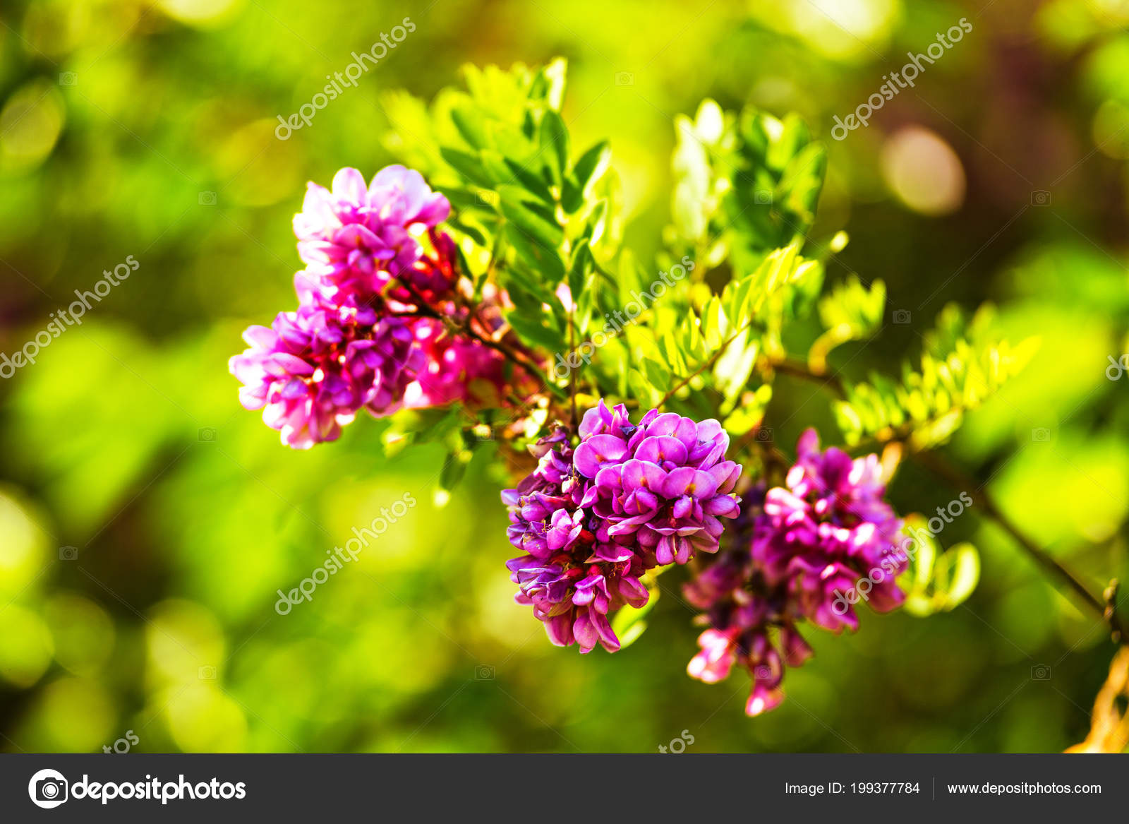 Purple acacia tree blooming background pink robinia flowers close purple acacia tree blooming background pink robinia flowers close violet stock photo mightylinksfo