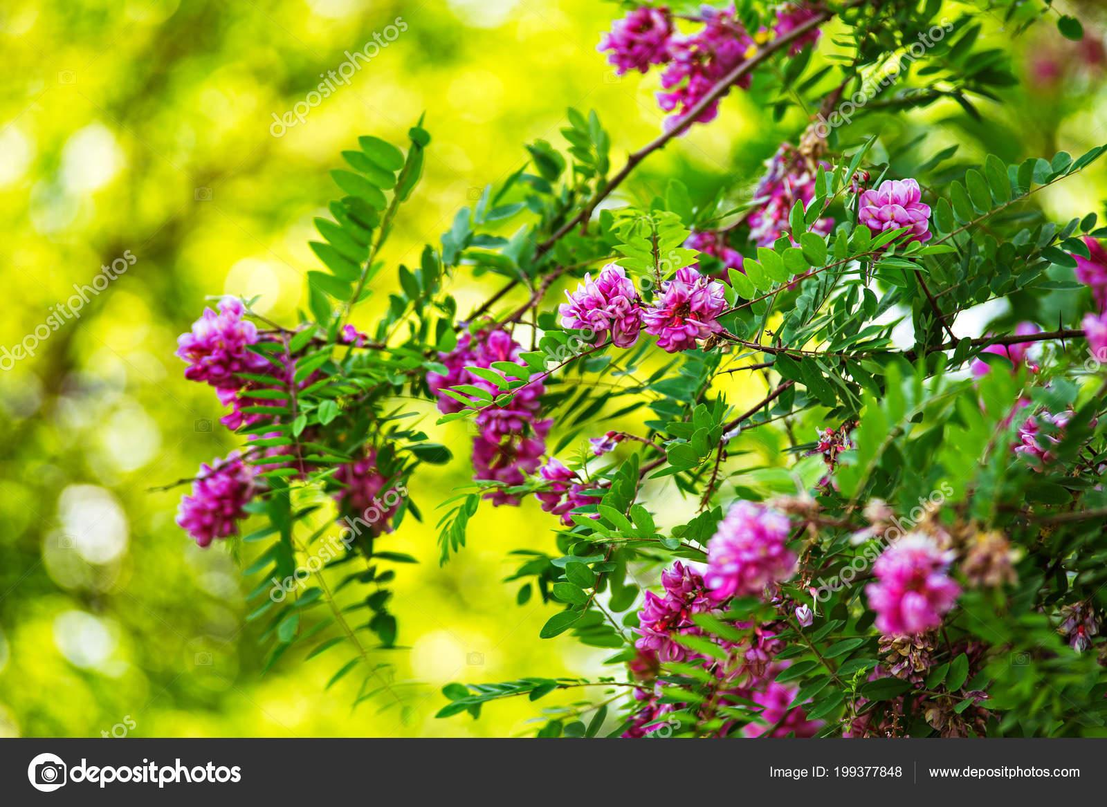 Purple acacia tree blooming background pink robinia flowers close purple acacia tree blooming background pink robinia flowers close violet stock photo mightylinksfo