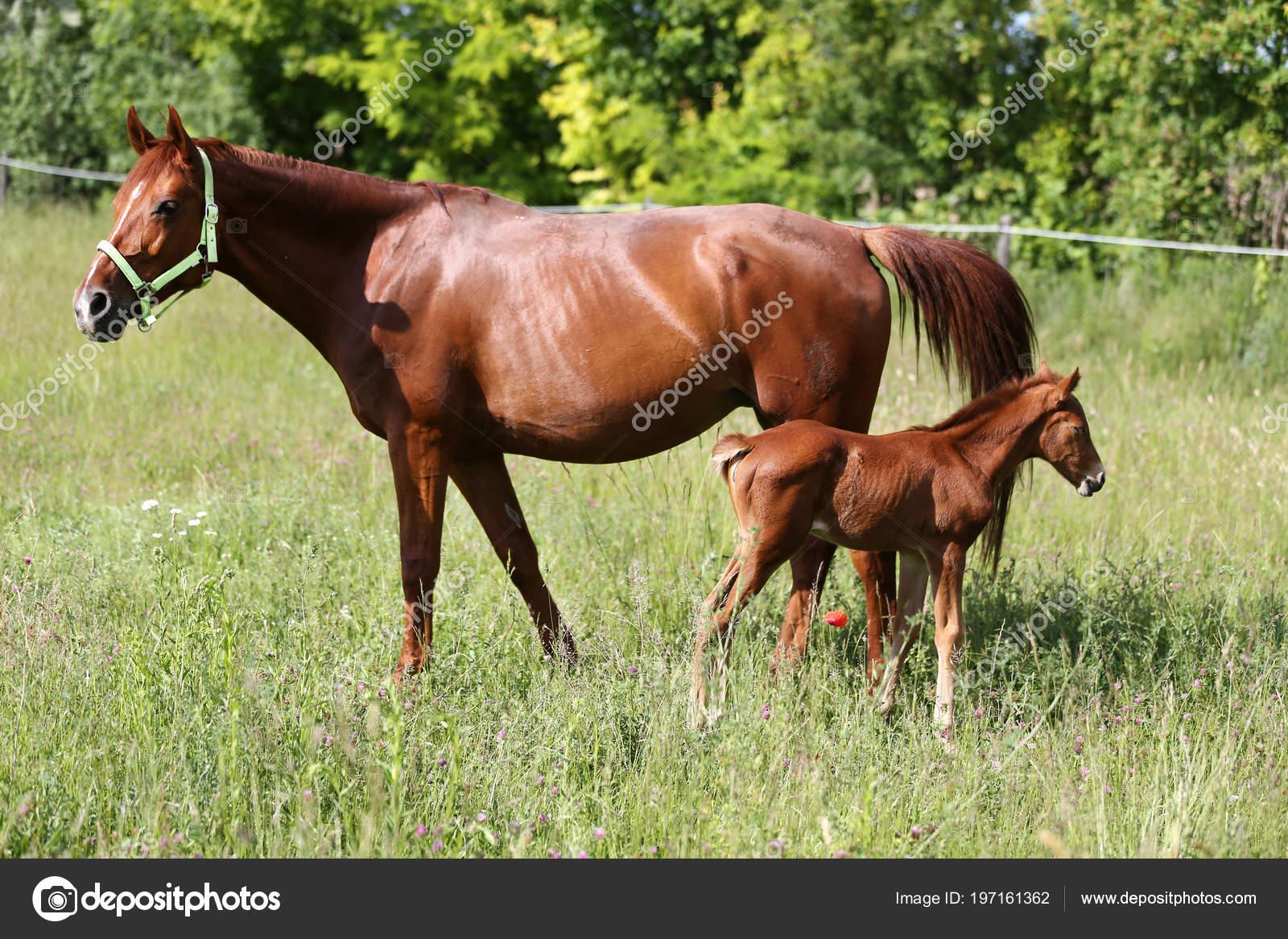 Pictures Newborn Baby Horses Mother Horse Graze Her Little Newborn Baby Horse Stock Photo C Accept001 197161362