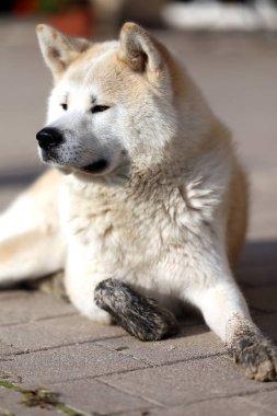 Portrait of beautiful three years old akita inu dog outdoors