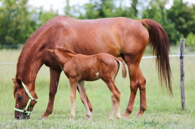 Purebred mare and her few weeks old filly grazing in summer flowering pasture idyllic picture stock vector