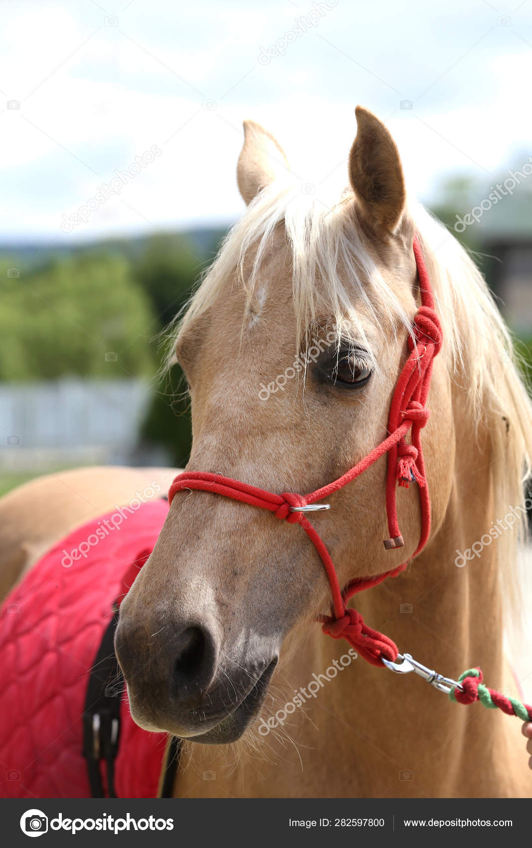 Beautiful Horse Head Closeup With Reins During Training Stock Photo C Accept001 282597800