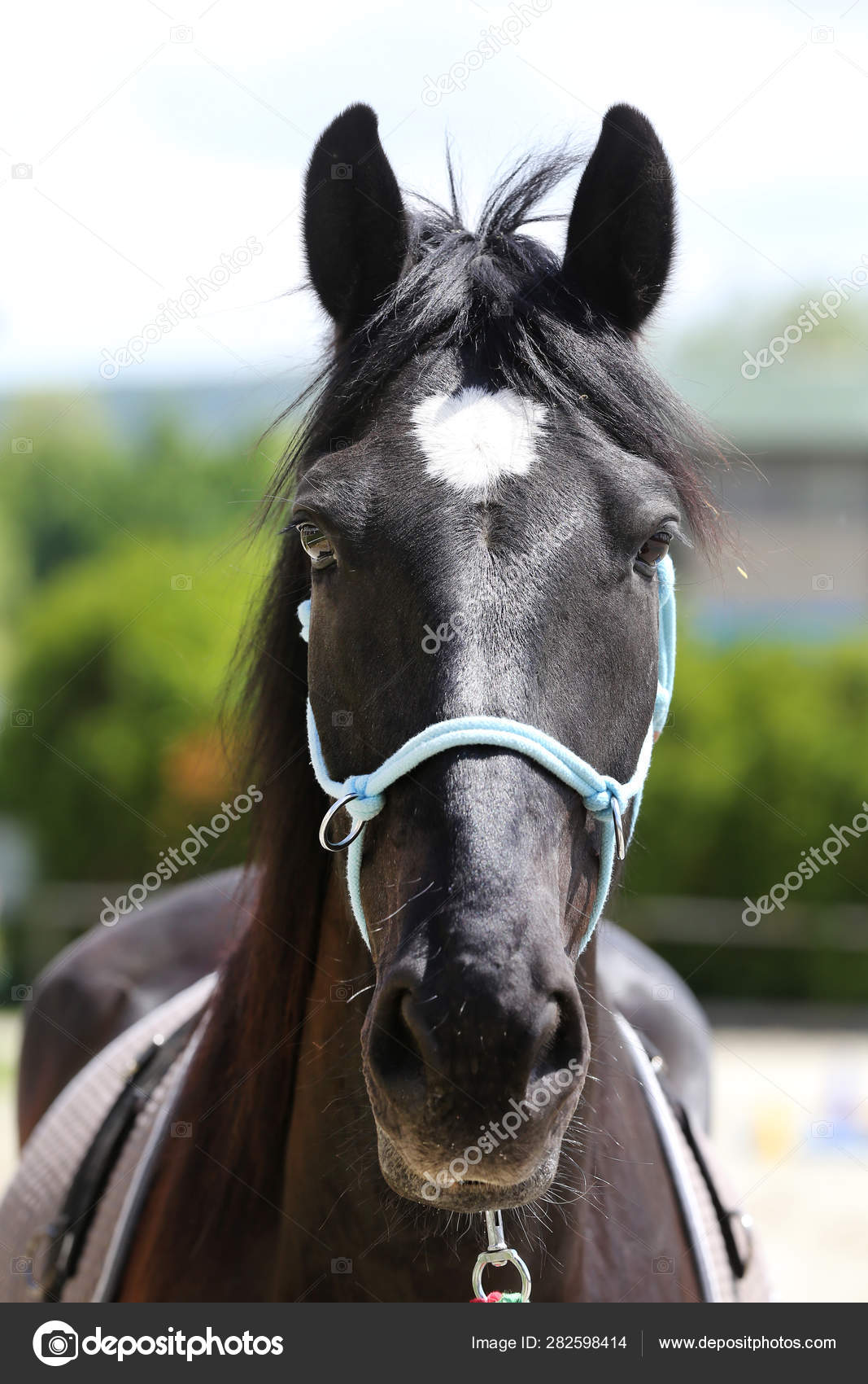 Beautiful Horse Head Closeup With Reins During Training Stock Photo C Accept001 282598414