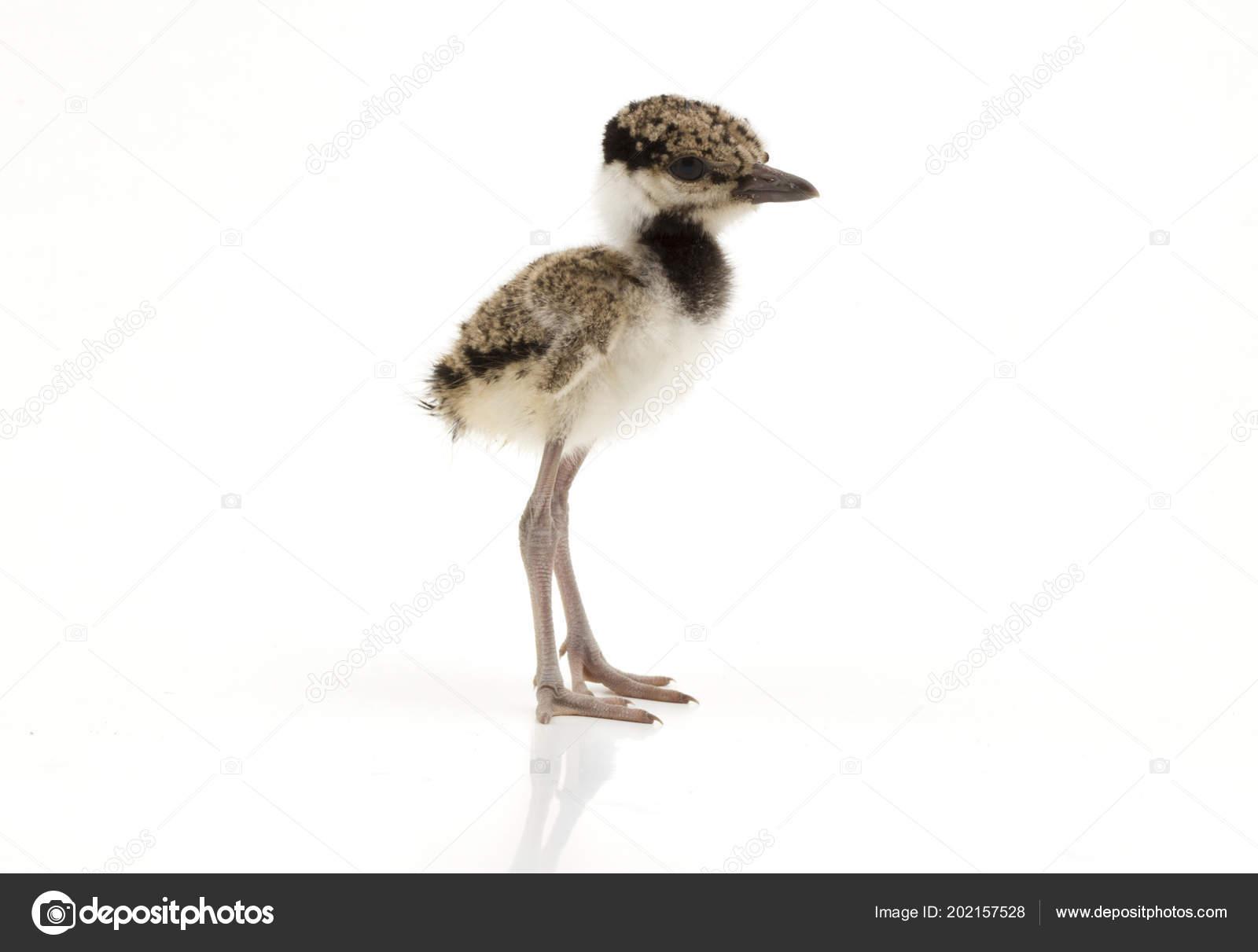 Μεγάλο μαύρο πουλί παιδιά
