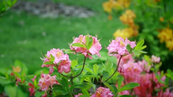 Slowly Shrubs With Pink Flowers Swing In The Wind Stock Video