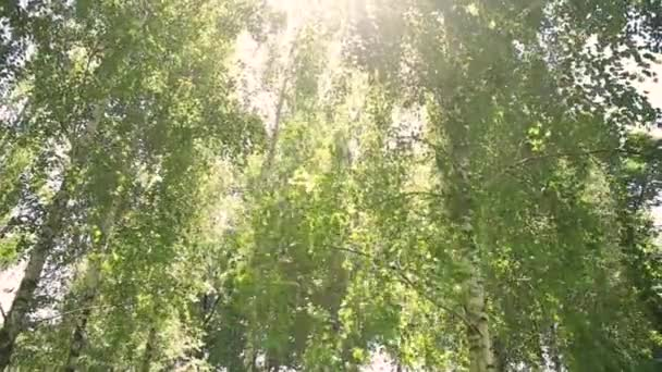 stabilizer, everywhere there is a lot of birches the sun shines