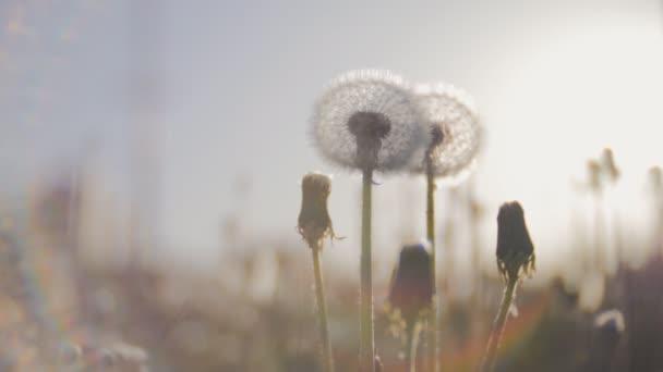 Pampelišky pole zblízka nad slunce pozadí. Semena pampelišky na slunci odfoukl