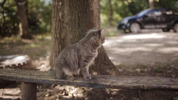 Einsame graue Katze mit langen weißen Bart und traurigen Blick sitzt auf der Bank. Flauschige Katze. Katze-Portrait, keine Menschen um. Außerhalb schießen, Nahaufnahme.