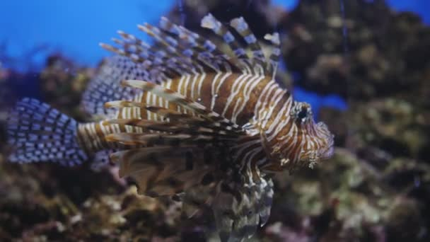 exotische Salzwasser-Feuerfisch-Zebra schwimmt in einem großen Aquarium. tropische Meerestiere im Fischbecken. Zucht gestreifter Rotfeuerfische in einer dekorierten Fischschale