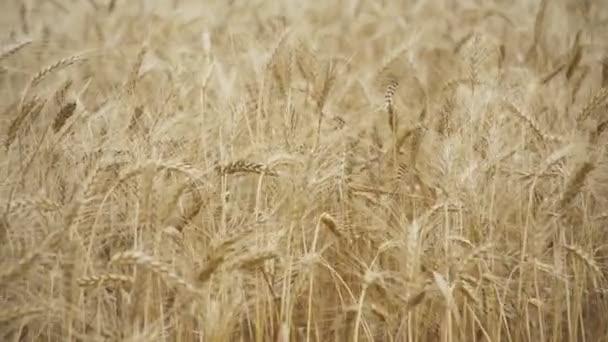 Sárga füle búza uralkodik a szél, füle a rozs imbolygott a szél és a háttér területén az érett füle a rozst. Betakarítás. Búza-termesztés területén-arany fej gabona merev ragyog a szél