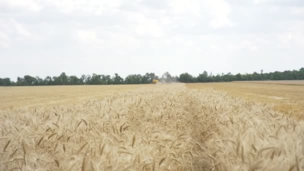 Combine harvester gathers the wheat crop. Wheat harvesting shears. Combines in the field Food industry concept.