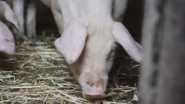 Malac a sertés gazdaságban szaladgált a pajtában. Sertés evés egy kis Alma.