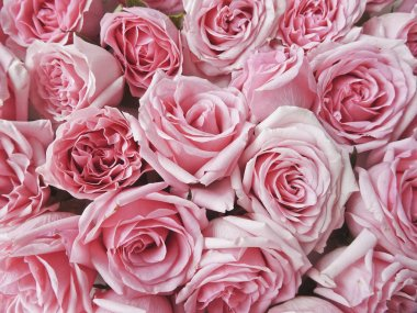Large pink roses on a white background. Buds of pink roses. Macro