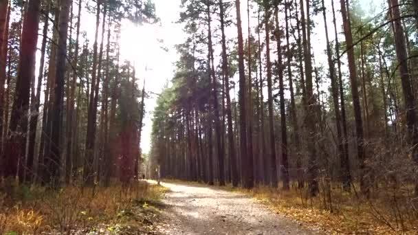 Ősz egy fenyőerdőben. Erdei földút. Fenyőfatörzsek ringatóznak a széltől.