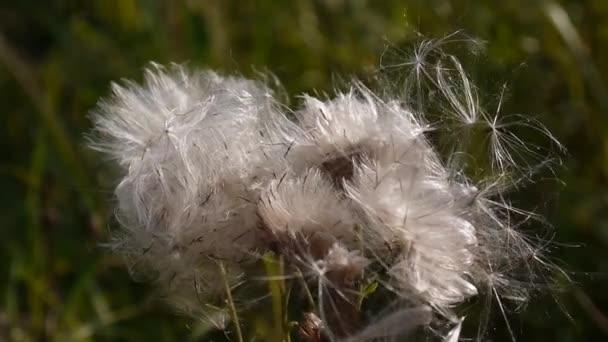Szél könnyek le száraz magok Cirsium arvense. Videóinak