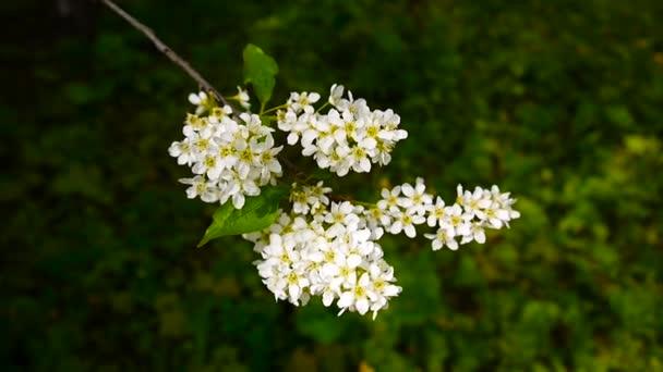 Kvetoucí třešeň ptačí jarní detail, pobočky ve větru. Prunus padus. Video záznam Hd natáčení statické kamery.