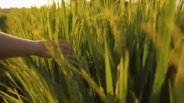 Detailní záběr záběr ruky dítěte dotýká zelené trávy rýžové pole