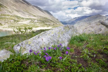 Flowers violets in a mountain valley, Siberia, Altai.