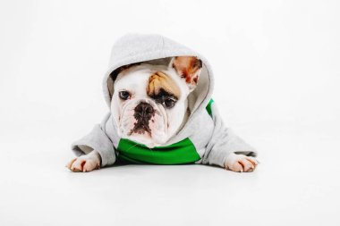 French Bulldog. Clothes for dogs. Dressed dog isolated on white background