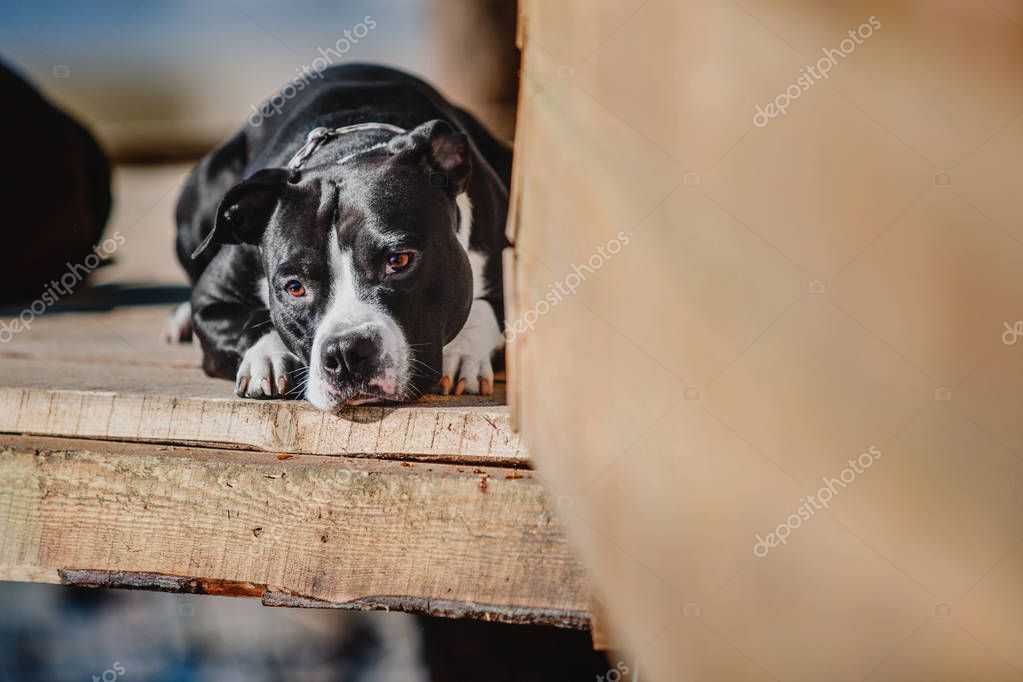 American staffordshire terrier dog