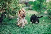 Jorkšírský teriér pes v létě