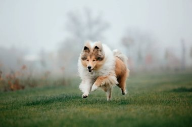 The Rough Collie dog