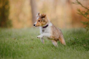 Shetland Sheepdog puppy. Autumn