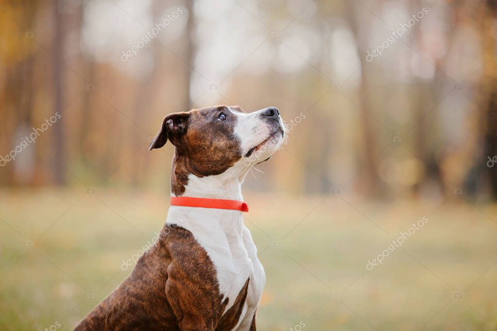 American staffordshire terrier dogs in  autumn walk