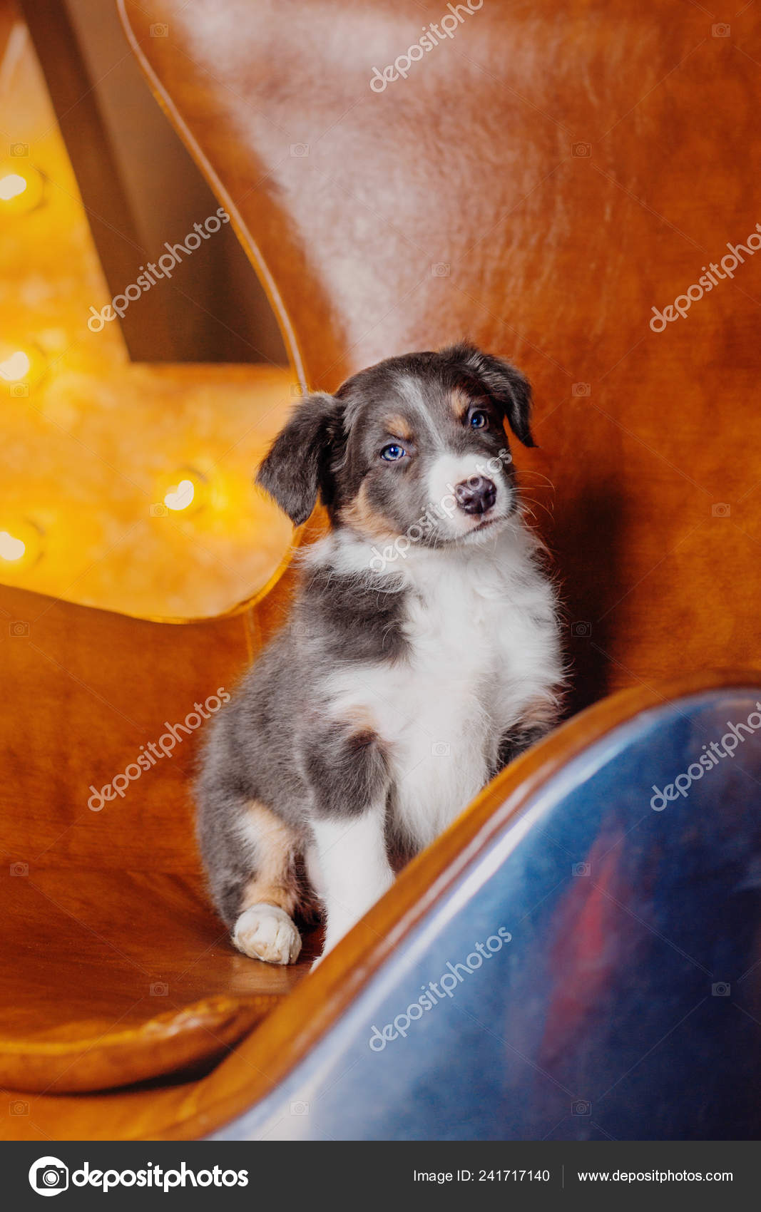 Cute Border Collie Puppy Stock Photo C Oov 241717140