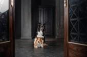 Fotografie Zwei Hunde in einem schwarzen Raum. Vintage dunklen Innenraum. Sheltie und Border Collie Hunde zusammen