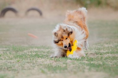 Collie dog catches a flying disc