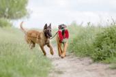 dva hnědé Malinois psi hrát v zeleném poli pozadí